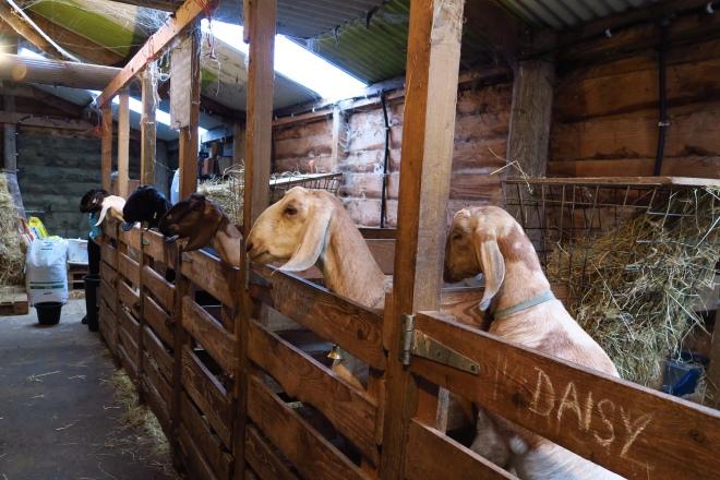 Goats, Ardagh Castle Goat Farm, Baltimore, Ireland